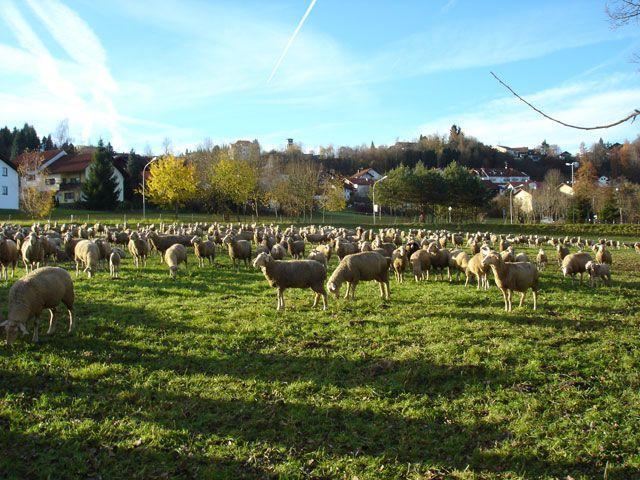 Schafe in Bad Griesbach